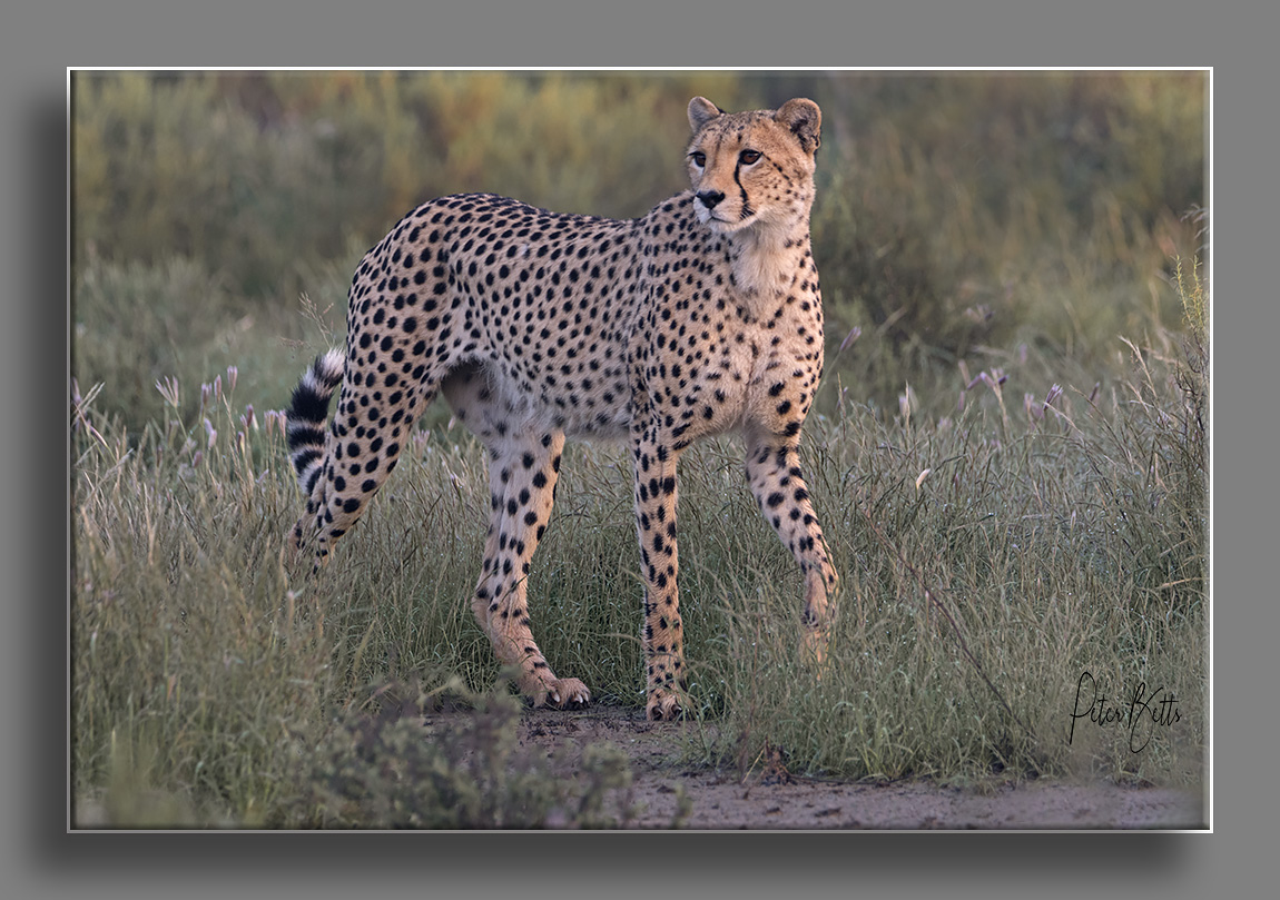 sunrise-cheetah-after-night-rain