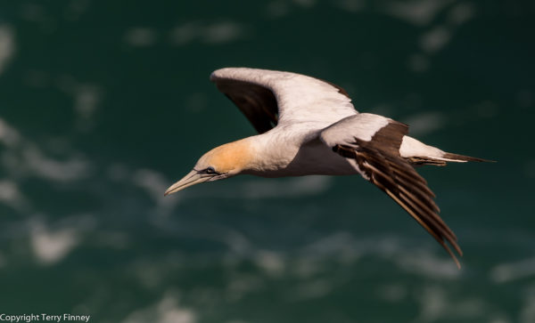 gannet-taken-at-murawai