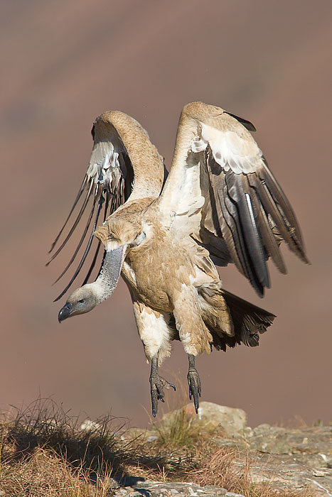 cape-vulture-taking-off