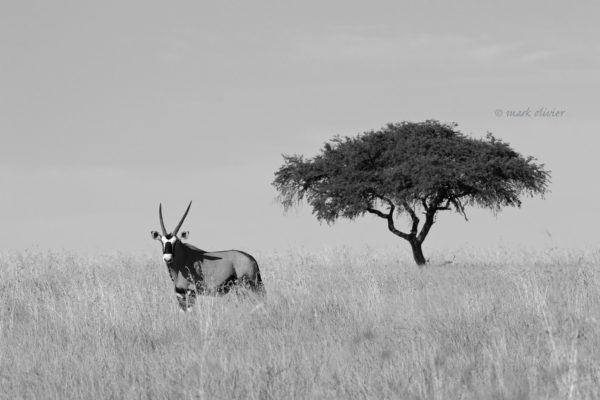 the-gemsbok-and-the-tree