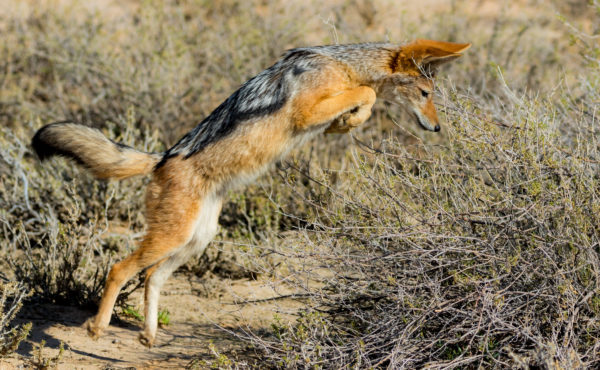 leaping-jackal-on-the-hunt