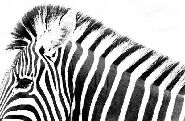 eddie-the-zebra