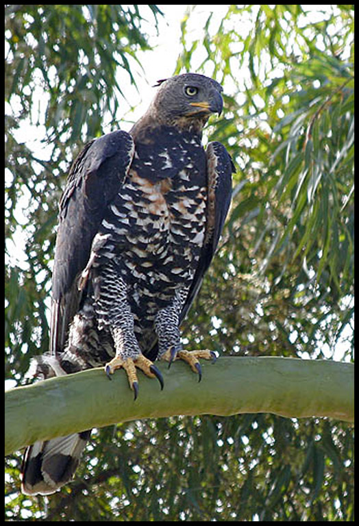 eagle_african_crowned